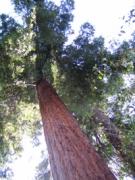 towering redwood